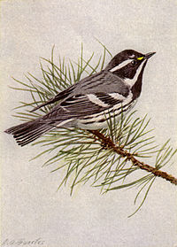 Black-throated Gray Warbler NGM-v31-p316-C