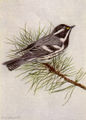 Black-throated Gray Warbler NGM-v31-p316-C.jpg