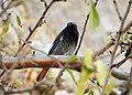 Black Redstart. Phoenicurus ochruros (25246200817).jpg