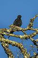 Black Sawwing - Kenya S4E7646 (16979093991).jpg