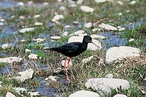 Black stilt - Black stilt near Twizel