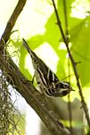 Black and White Striped Warbler.jpg