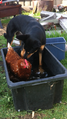 Black and tan kelpie with chicken in bath.PNG