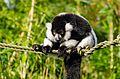 Black and white Ruffed Lemur (25027790856).jpg