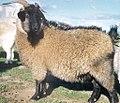 Black cashmere goat doe.jpg
