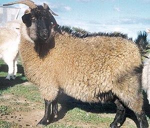 Cashmere goat - An Australian cashmere goat
