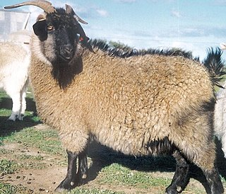 Cashmere goat any breed of goat that produces cashmere wool