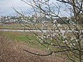 Blackthorn blossom (Prunus spinosa) - geograph.org.uk - 1775498.jpg