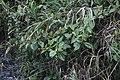 Blakea sp. (Melastomataceae) (30004767612).jpg