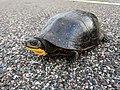 Blanding's Turtle Crossing (42683883282).jpg