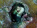 Blenniella periophthalmus.jpg