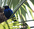 Blue-Eared Glossy Starling (3337871809).jpg