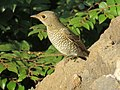 Blue-capped Rock Thrush Female.jpg