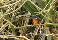 A blue-eared kingfisher sighted in the Sundarbans