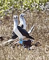 Blue-footed Boobies (47791975041).jpg