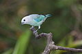 Blue-gray Tanager (Thraupis episcopus cana) (4504877927) (2).jpg