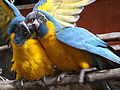Blue-throated Macaws 03.jpg