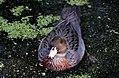 Blue duck. Whio (Hymenolaimus malacorhynchos) (8177499171).jpg