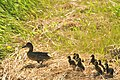 Blue winged teal hen and brood Sand Lake WMD (16053768305).jpg