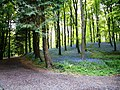 Bluebells in Portglenone Forest - geograph.org.uk - 643109.jpg