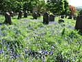 Bluebells in the churchyard - geograph.org.uk - 1324347.jpg