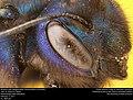 Blueberry Bee (Megachilidae, Osmia rubifloris (Cockerell) (32965411920).jpg