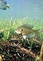 Bluegill fish underwater.jpg