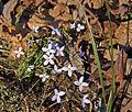 Bluets Houstonia caerulea.jpg