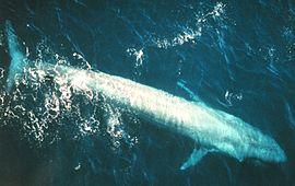 Bluewhale877.jpg