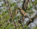 Blyth's Reed Warbler (Acrocephalus dumetorum) in Hyderabad, AP W IMG 1411.jpg