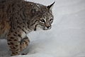 Bobcat-snow-walking - Virginia - ForestWander.jpg