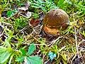 Boletus.erythropus.jpg