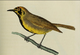 Bonin White-Eye.PNG