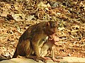 Bonnet Macaque Macaca radiata with young by Dr. Raju Kasambe DSCN0473 (10).jpg