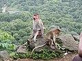 Bonnet Macaques Macaca radiata Kanheri SGNP Mumbai by Raju Kasambe DSCF0056 (1) 08.jpg