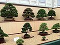 Bonsai at Chelsea (3).jpg