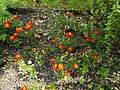 Botanischer Garten Innsbruck Duft- und Tastgarten Tagetes.jpg