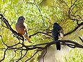 Bourkes Parrot Bowrac QLD.jpg