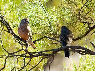 Bourke's parrot - Pair of wild Bourke's parrots, SW Queensland, Australia.