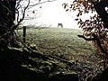 Bovine grazing by Webberton Wood - geograph.org.uk - 688125.jpg