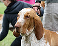 Bracco Italiano - world dog show 2010.jpg