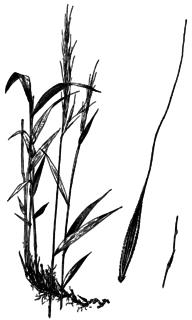 <i>Brachyelytrum</i> genus of plants