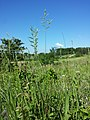 Brachypodium pinnatum sl3.jpg
