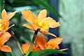 Brassolaeliocattleya Fuchs Orange Nugget Lea 1zz.jpg