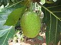 Breadfruit - കടച്ചക്ക 04.JPG