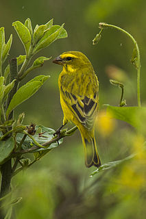 Brimstone canary Species of bird