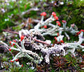 British soldier lichen (6954134410).jpg