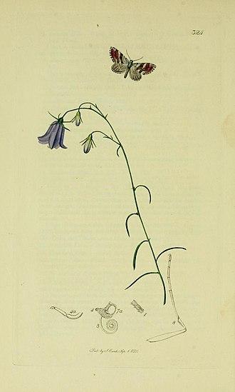 Carsia sororiata - Illustration from John Curtis's British Entomology Volume 6