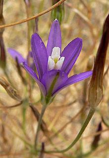 <i>Brodiaea</i> Genus of flowering plants