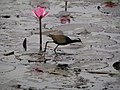Bronze-winged Jacana (19996597715).jpg